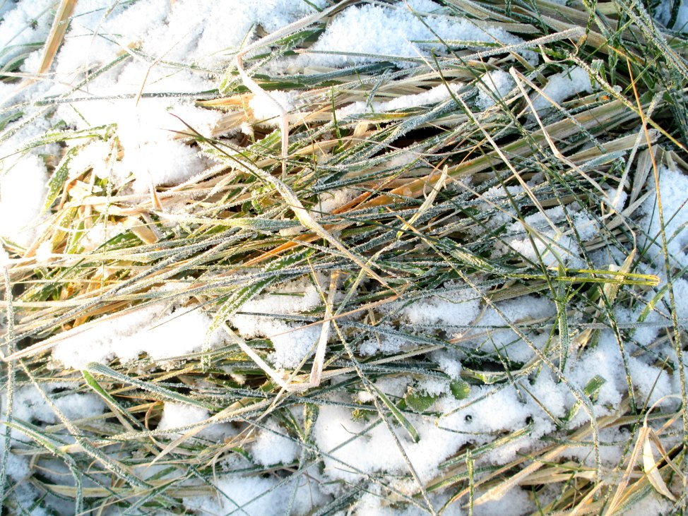 frozengrass